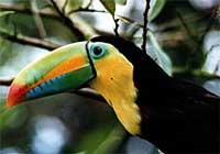 Toucan at affordable Hotel Bed  & Breakfast in rainforest with lake view on Lake Arenal, Costa Rica near La Fortuna and Volcano in Nuevo Arenal. Best breakfast, Best Price, Beautiful View. Best Hotel.