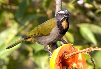 black headed Saltator in Costa Rica birding