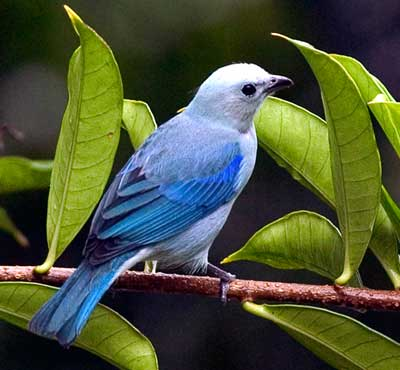 Blue Tanager at Lake Arenal in Costa Rica