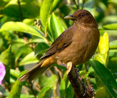 Birding in costa rica Clay Colored Robin
