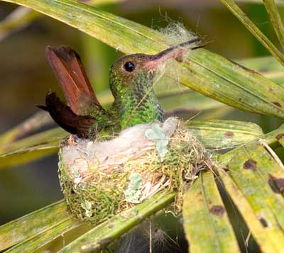 costa rica humming bird nesting