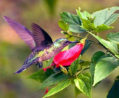 humming bird feeding in costa rico