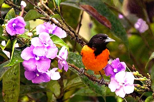 birds in costa rica Oriole