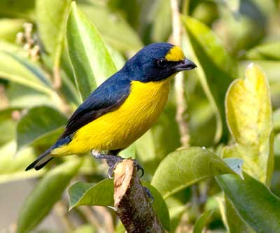 Yellow Throated Euphonia Birds of Costa rica